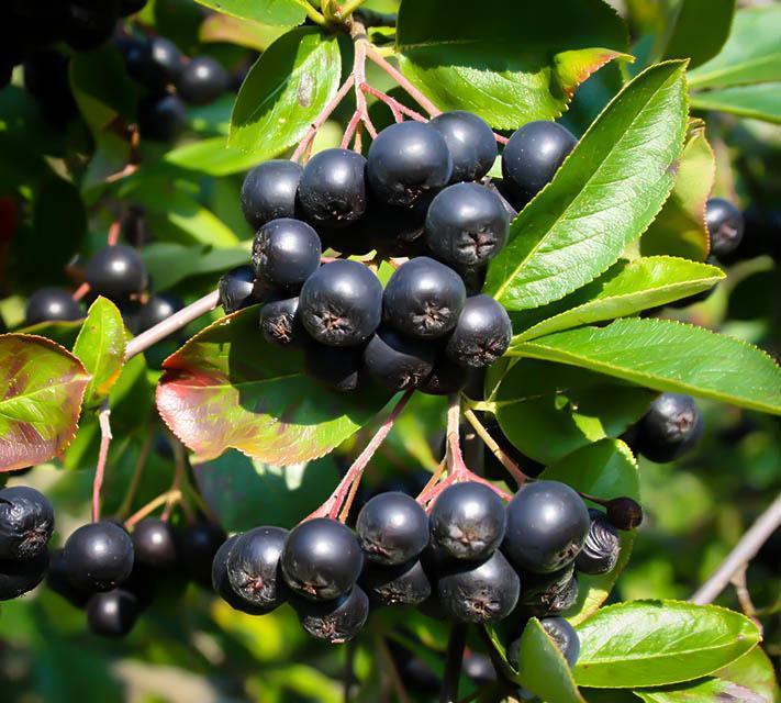 Buy Aronia Black Chokeberry | The Tree Center™