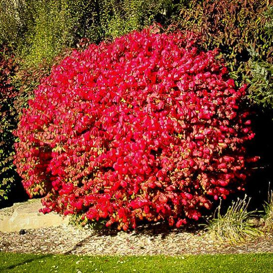 dwarf compact burning bush