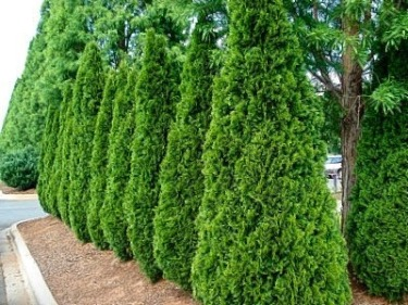 best privacy trees for your backyard