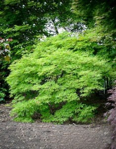 Green cascade japanese maple tree also the complete guide center rh thetreecenter