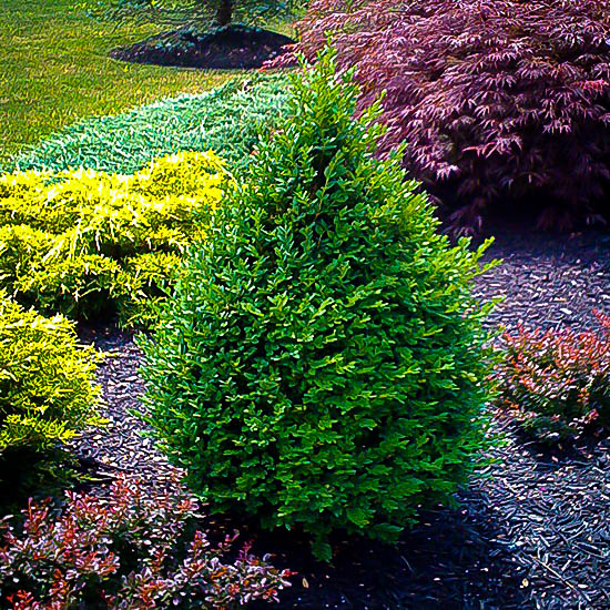 Green Mountain Boxwood Shrubs For Sale The Tree Center