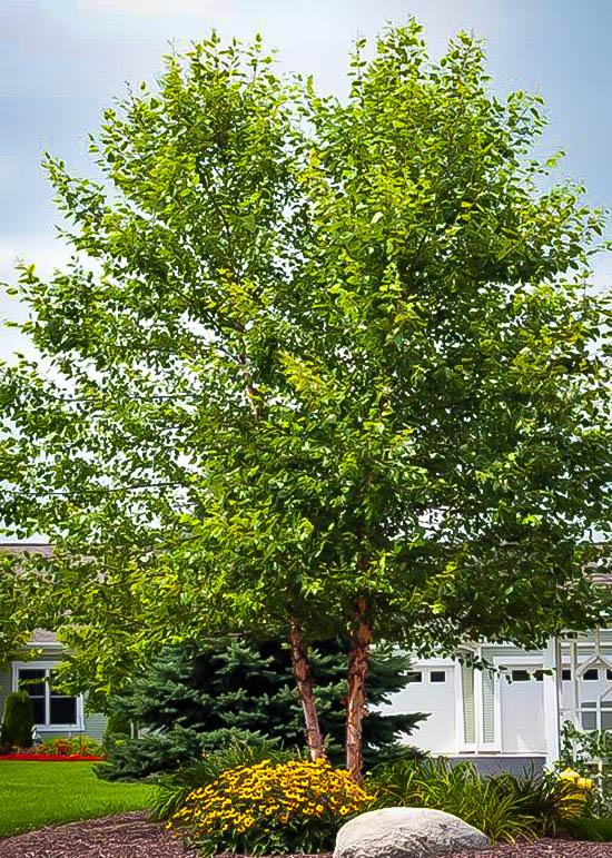 heritage birch clump trees