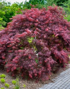 Inaba shidare japanese maple also the complete guide tree center rh thetreecenter