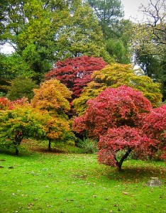 also the complete japanese maple guide tree center rh thetreecenter