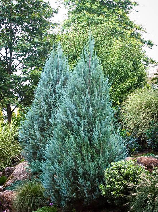moonglow juniper online