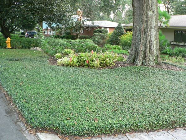 groundcover plants shady places