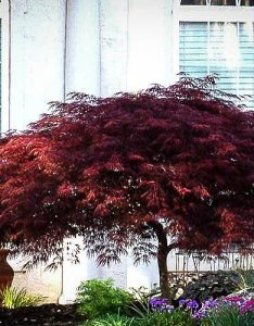 Red dragon japanese maple tree also the complete guide center rh thetreecenter