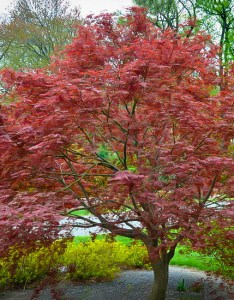 Sherwood flame japanese maple also the complete guide tree center rh thetreecenter