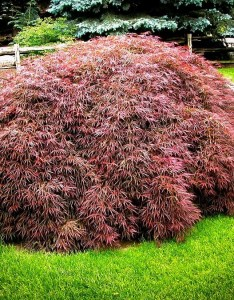 Tamukeyama japanese maple also the complete guide tree center rh thetreecenter