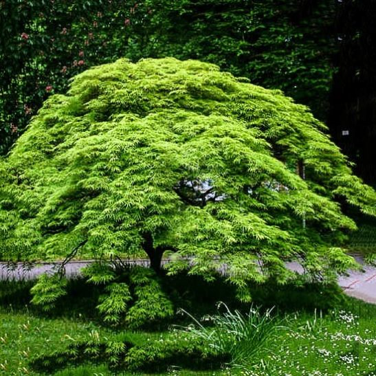 Weeping Japanese Maple Viridis For Sale Online The Tree