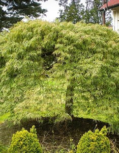 Green weeping viridis laceleaf japanese maple tree also the complete guide center rh thetreecenter
