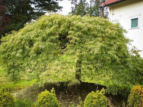 weeping japanese maple viridis