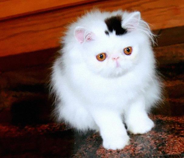 Cat With a Permanent Top-Hat