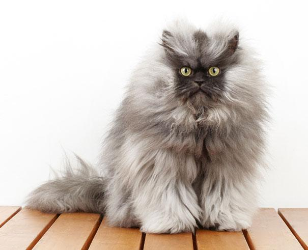 Himalayan-Persian cross-breed cat