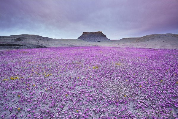 blooming-desert-badlands-utah-1