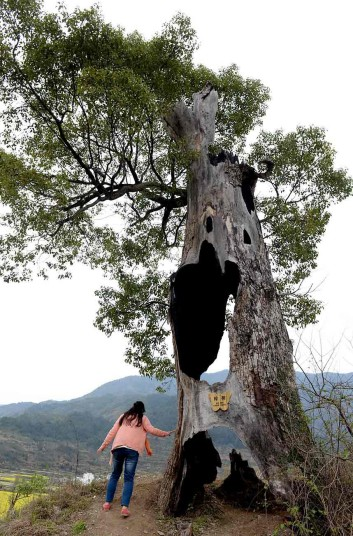 This camphor tree in Wuyuan, China, is still flourishing despite being left totally hollow by lightning strike (Photo Credit:  REX FEATURES)