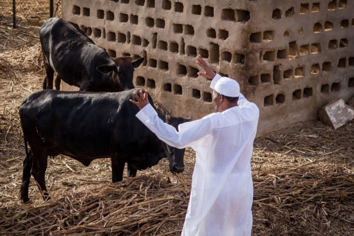 Buhari Cows CAN
