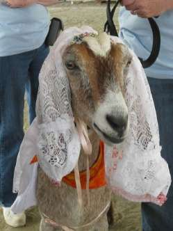 A man Charles Tombe was forced to marry this goat named Rose after he was caught raping it in South Sudan.