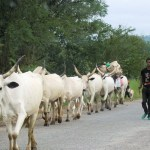 National Association of Nigerian Students , NANS, Cattle Colonies