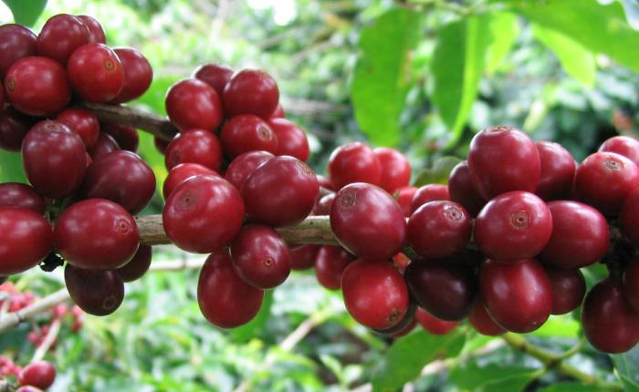 Coffeeberry fruits coffee facts