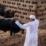 Muhammadu Buhari in his farm in Daura waving to his cows (State House Photos)