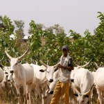 Nomadic Fulani herdsmen and a herd of cattle