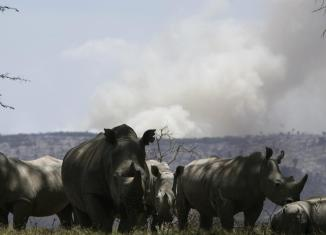 Smoke rises from a bush fire behind rhinoceroses at Lake Nakuru National Park in the Rift Valley in Nakuru, west of Nairobi in 2008.