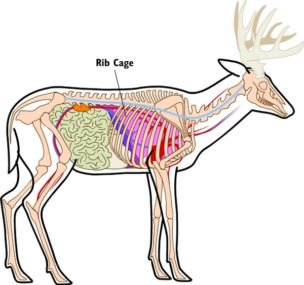 deer9_ribcage