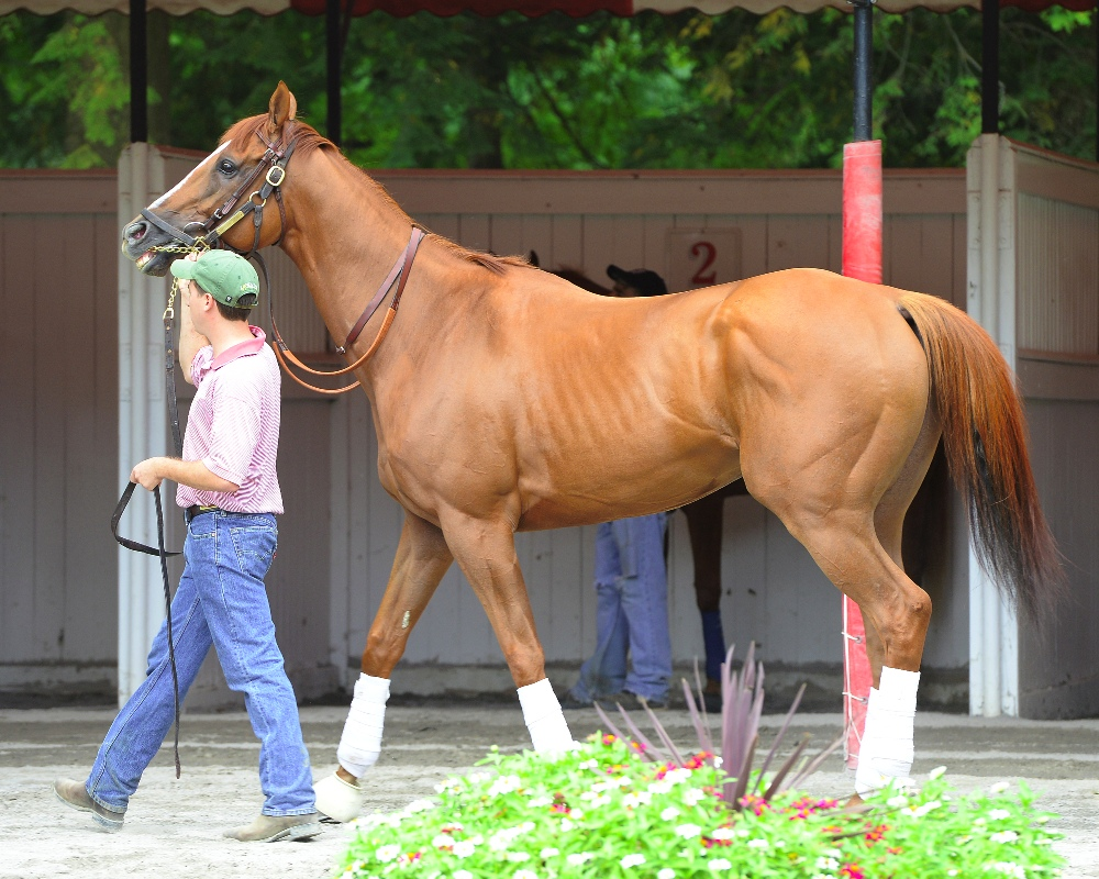 Wise Dan on August 28, 2014 at Saratoga - Photo by NYRA/Coglianese Photos