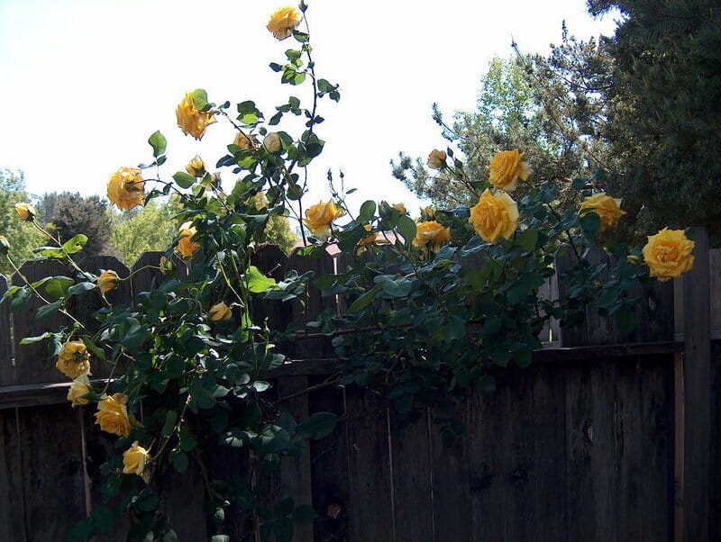 Royal Gold Climbing Rose  Hello Hello Plants  Garden
