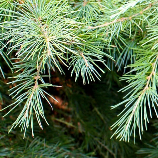 Himalayan Cedar Tree 12 Pot  Hello Hello Plants  Garden
