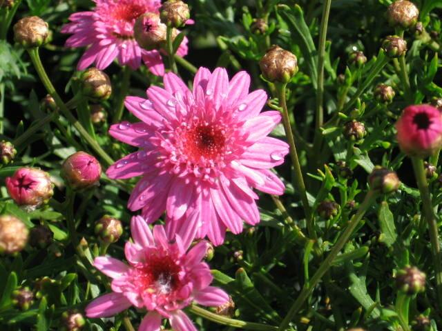 Marguerite Daisy Pink 6 Quot Pot Hello Hello Plants Amp Garden