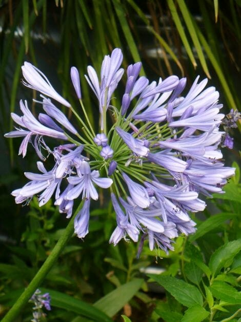 Agapanthus Peter Pan 6 Pot  Hello Hello Plants  Garden