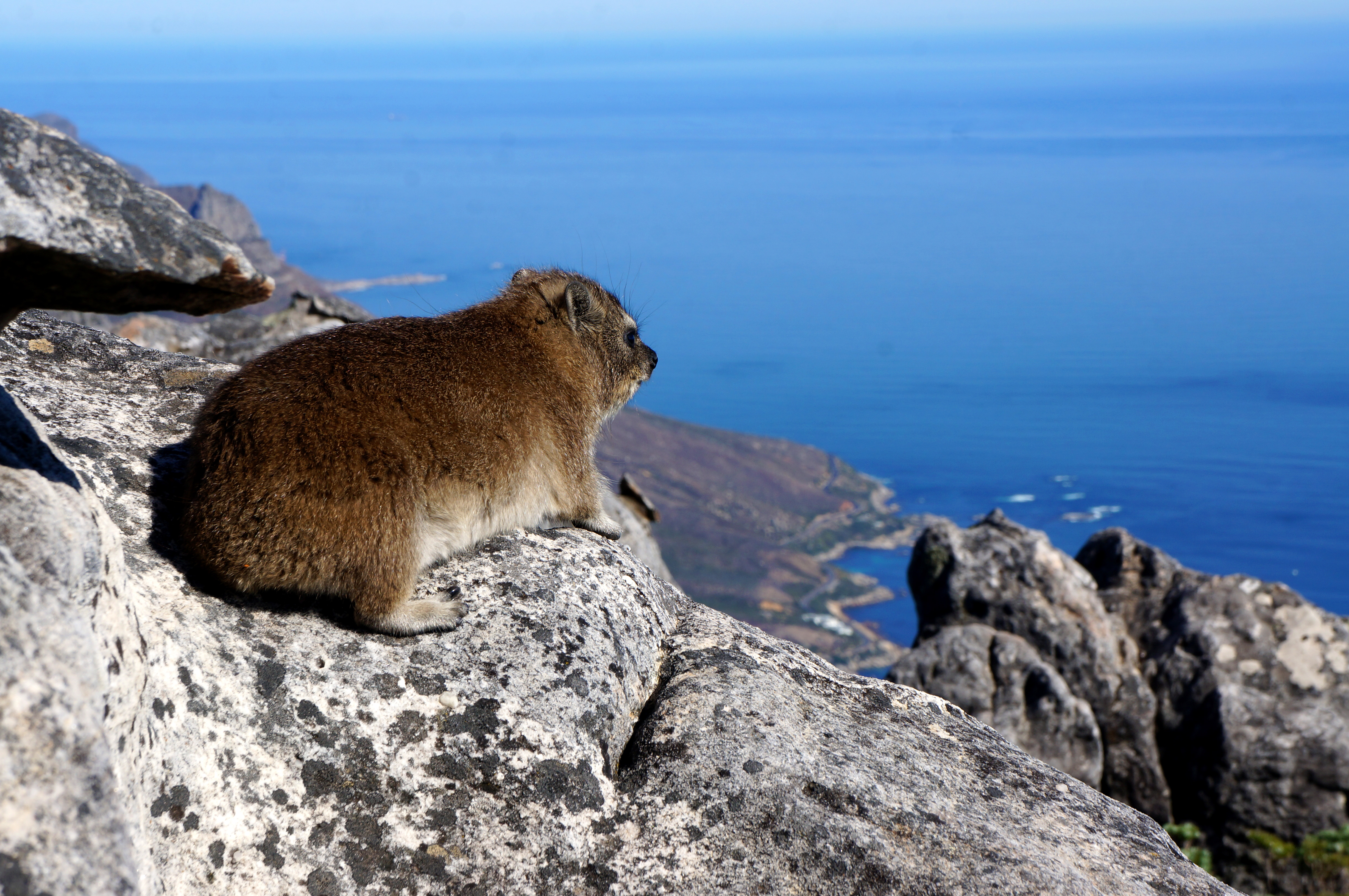 African mountain animals - Of Course No Visit To Cape Town Is Complete Without Going To The Top Of South Africa S Most Iconic Landmark Table Mountain There Are Two Ways To Get Up