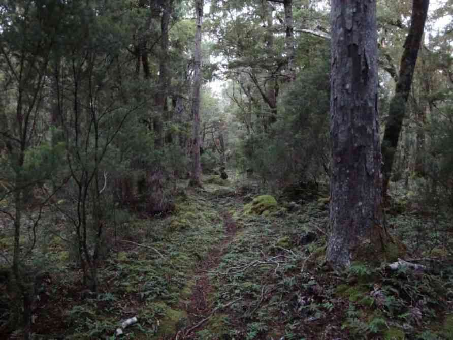 Waitutu Forest South Coast Track Fiordland NZ