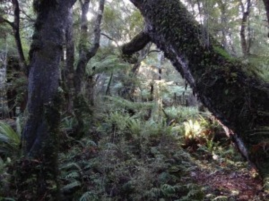 Tiny's Creek Track, Waitutu Forest Fiordland NZ