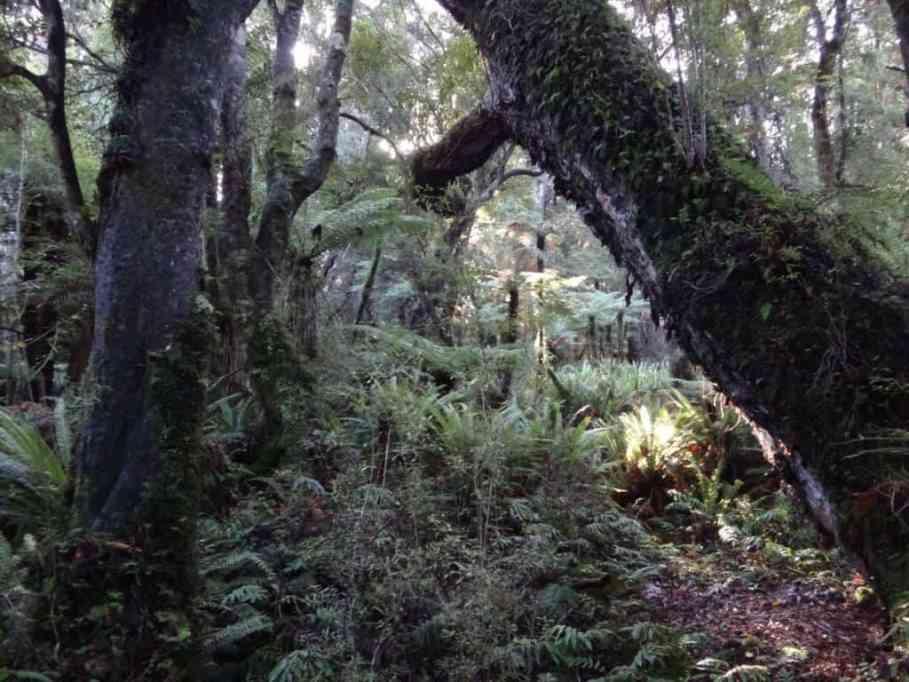 Tiny's Creek Track, Waitutu Forest Fiordland NZ