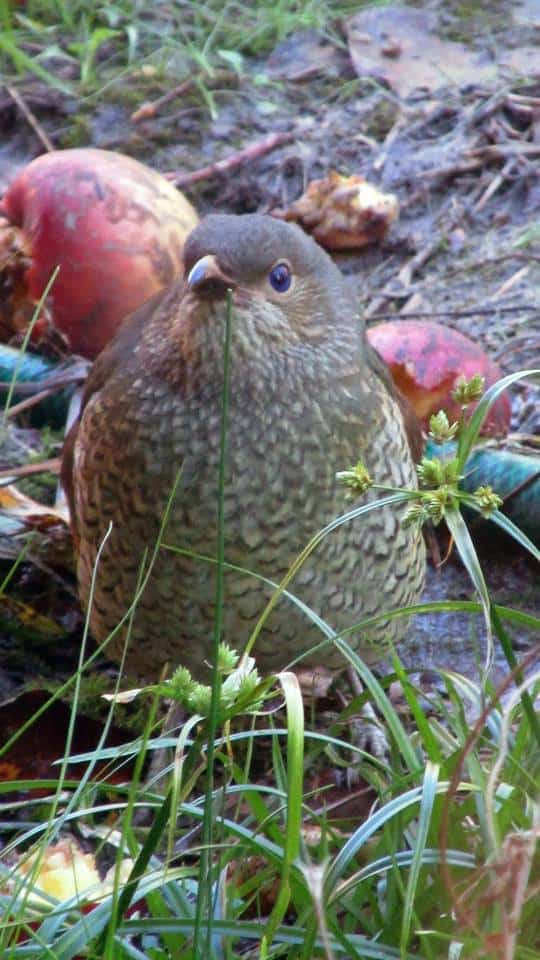 Satin Bower Bird