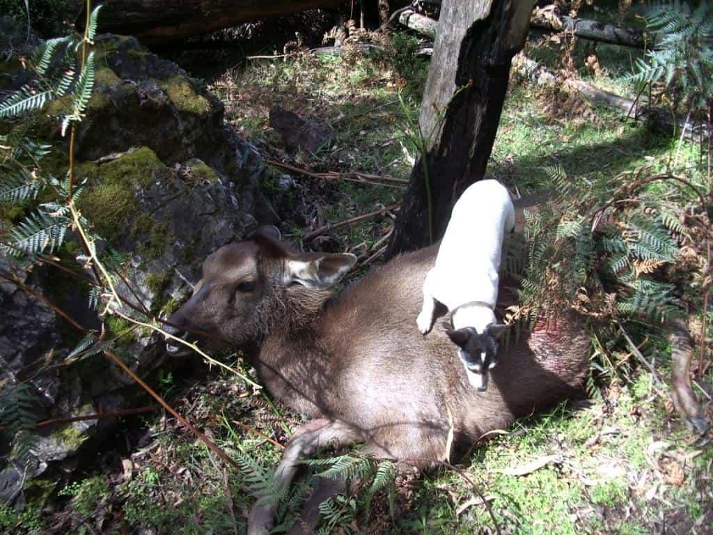 Sambar Deer Stalking #101: