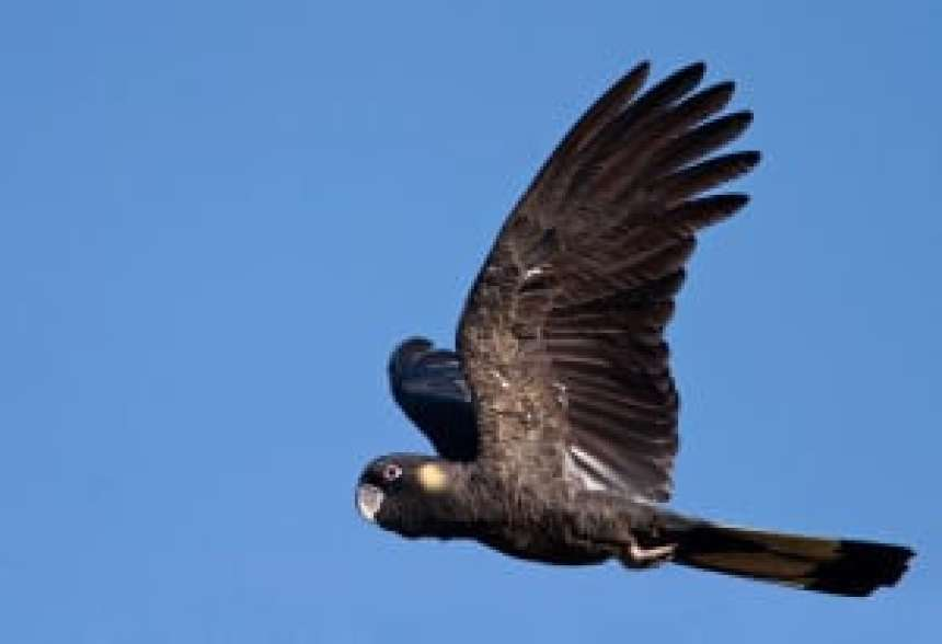 Yellow-Tailed Black Cockatoo