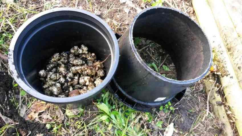 Jerusalem Artichokes: 1/4 of a pot last summer without irrigation