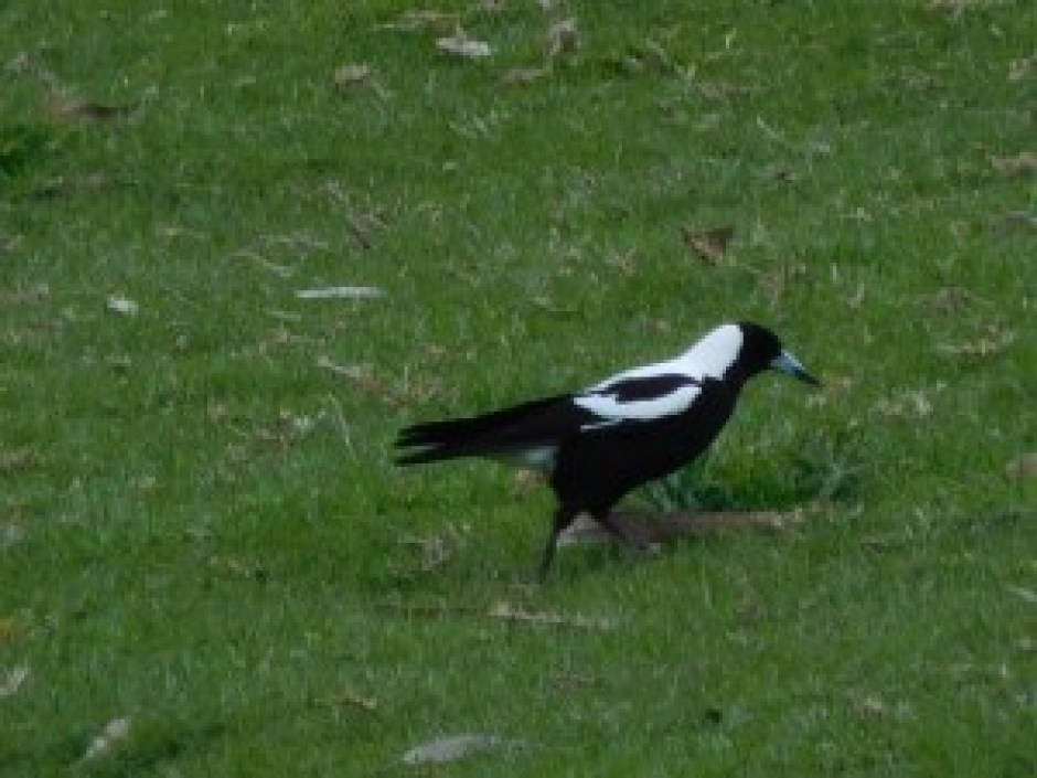 White Backed Magpie 08/09/2015