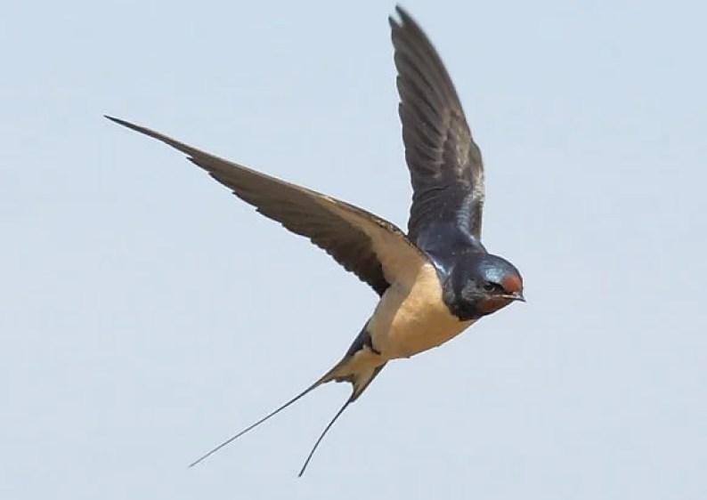swallow-04