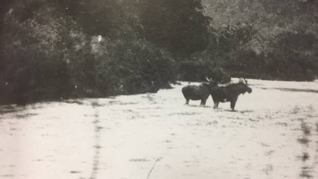 New Evidence of Fiordland Moose