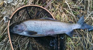 46cm Grayling from the Tweed