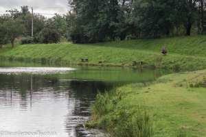 Angler stalking at Green Frog