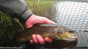 Brown Trout being returned
