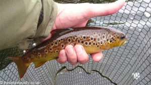 Brown Trout from Loch Lossit