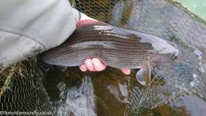 Grayling on the Nith