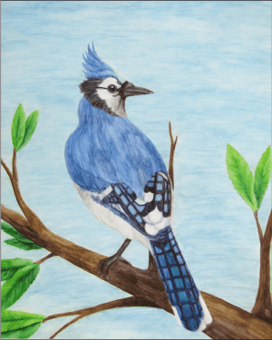 Blue Jay Giclee Print of Watercolor Pencil Avian Totem Animal Fine Art